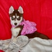 Siberian Husky Puppy For Sale in CORTE MADERA, California,