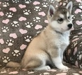 Siberian Husky Puppy For Sale in CLEMENTS, MD,