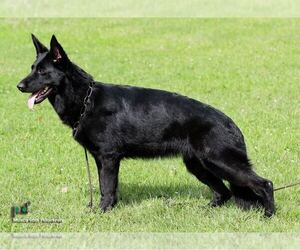German Shepherd Dog Puppy for sale in ROSELLE, IL, USA