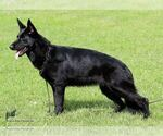 German Shepherd Puppies AKC papers parents titled