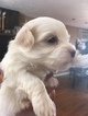 Maltipoo Puppy For Sale in SOUTH WEYMOUTH, MA, USA