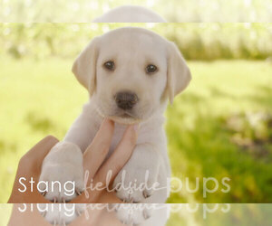 Labrador Retriever Puppy for Sale in SIOUX CENTER, Iowa USA