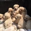 Golden Shepherd Puppy For Sale in ELMWOOD, TN, USA
