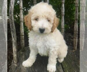 Medium Poodle (Miniature)