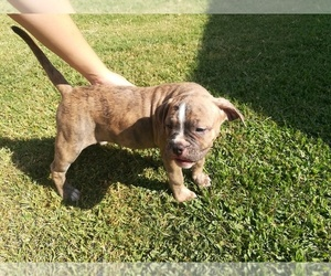 American Bulldog Puppy for Sale in NEVADA, Texas USA
