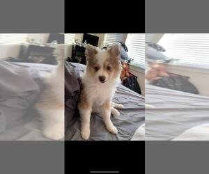 Pomeranian-Pomsky Mix Puppy for Sale in LYNN, Massachusetts USA