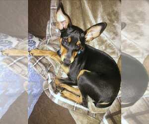 Miniature Pinscher Dog for Adoption in THURMONT, Maryland USA