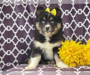 Pomeranian-Pomsky Mix Puppy for sale in LAKELAND, FL, USA