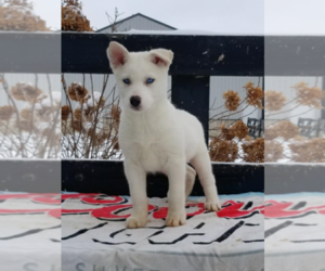 Siberian Husky Puppy for sale in LIMA, OH, USA
