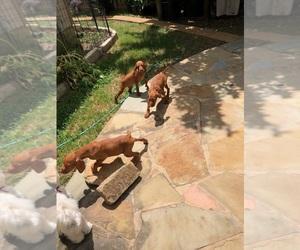 Vizsla Puppy for Sale in KYLE, Texas USA
