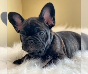 French Bulldog Dog for Adoption in SYLMAR, California USA