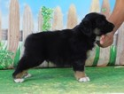 AKC Mini American Shepherd Black Tri Bear