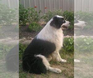 Father of the Australian Shepherd puppies born on 12/17/2020