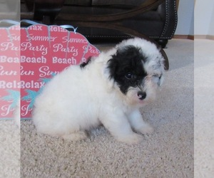 Poochon Puppy for sale in LE MARS, IA, USA