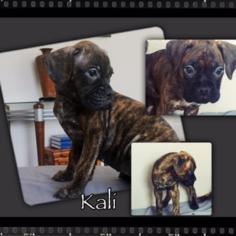 Boxer Puppy For Sale in SALIDA, CA