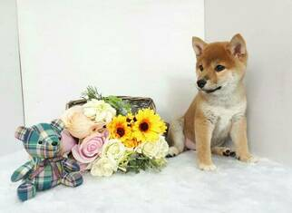 Shiba Inu Puppy For Sale in SAN JOSE, CA, USA
