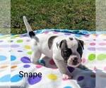 Small #4 American Bulldog