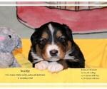Puppy 9 English Shepherd