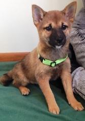 Shiba Inu Puppy For Sale in CRANSTON, RI