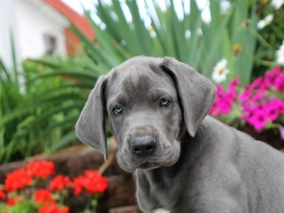 Great Dane Puppy For Sale in MILLERSBURG, PA, USA