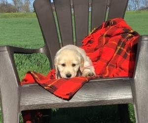 Golden Retriever Puppy for Sale in WASHINGTON BORO, Pennsylvania USA