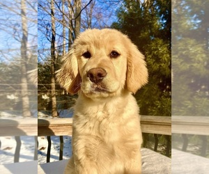 Goldendoodle Puppy for sale in WEST GROVE, PA, USA