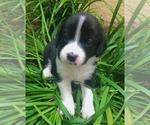 Small #4 Beagle-Papillon Mix