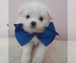 Maltipom Puppy for sale in ROCKLEDGE, FL, USA