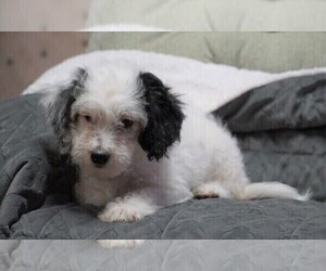 Miniature Bernedoodle Dog for Adoption in FREDERICKSBG, Ohio USA