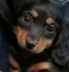 Dachshund Puppy For Sale in PARKER, CO, USA