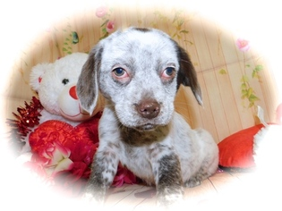 Australian Cattle Dog-Beagle Mix Puppy For Sale in HAMMOND, IN, USA