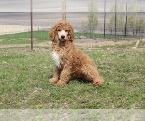 Poodle (Standard) Puppy for sale in JOICE, IA, USA