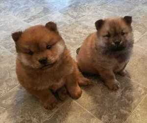 Chow Chow Puppy for sale in SOUTH BEND, IN, USA