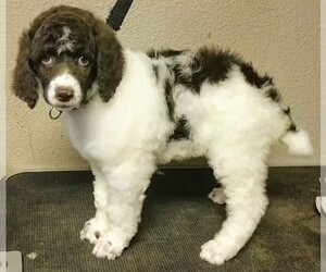 Poodle (Standard) Puppy for Sale in MARION, Texas USA