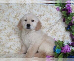 English Cream Golden Retriever Puppy for sale in SHILOH, OH, USA