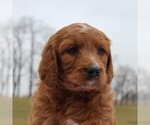 Small Photo #4 Irish Doodle Puppy For Sale in GREENCASTLE, PA, USA