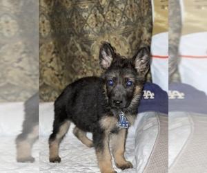 German Shepherd Dog Puppy for sale in TEMECULA, CA, USA
