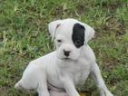 Puppy 10 Boxer