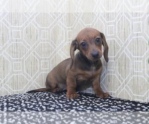 Dachshund Puppy for sale in EL CAJON, CA, USA