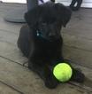 Golden Shepherd Puppy For Sale in KENTS STORE, VA, USA