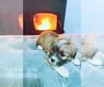 Puppy 4 Jack Russell Terrier-Shih Tzu Mix