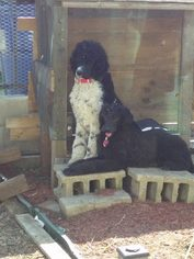 Poodle (Standard) Puppy For Sale in EL RENO, OK