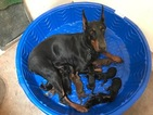 Doberman Pinscher Puppy For Sale in PERALTA, NM, USA
