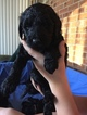 Goldendoodle Puppy For Sale in LEXINGTON, NC