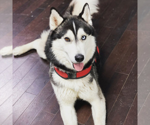 Father of the Siberian Husky puppies born on 05/04/2021