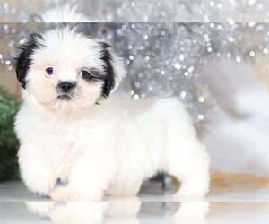 Shih Apso Dog for Adoption in BEL AIR, Maryland USA