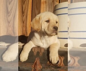 Labrador Retriever Puppy for Sale in HARRISON, Arkansas USA