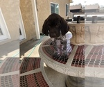 Small #3 German Shorthaired Pointer