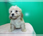Puppy 1 Cavalier King Charles Spaniel-Poodle (Standard) Mix