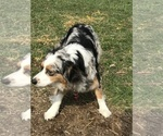 Small Photo #1 Australian Shepherd Puppy For Sale in CANTON, OH, USA